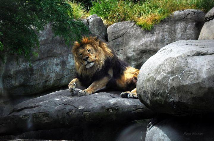 Playful Lion - Shirleypix Art & Photography