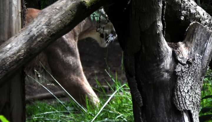 A prowling cat - Shirleypix Art & Photography