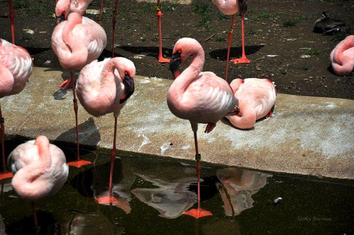 Flamingo in Pink Beauty - Shirleypix Art & Photography
