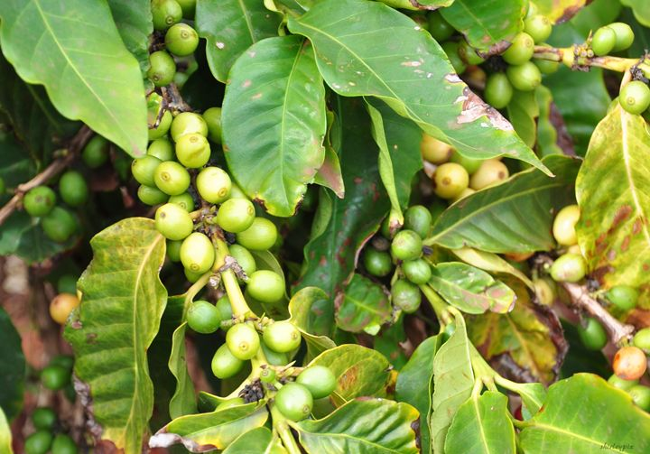Kauai Coffee Beans Up Close - Shirleypix Art & Photography