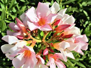 Oleanders bloom