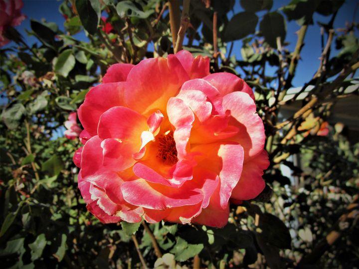 Rose of Beauty - HEALING ART ROXANNE GIBSON