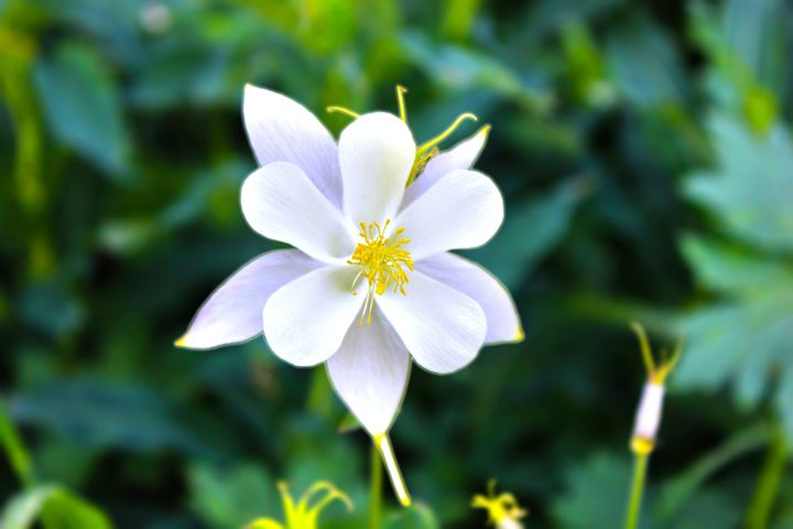 Columbine Flower - Flat Owl Photography