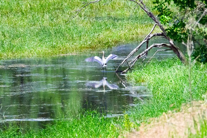 Blue Heron on the pond - Passing Moments Captured