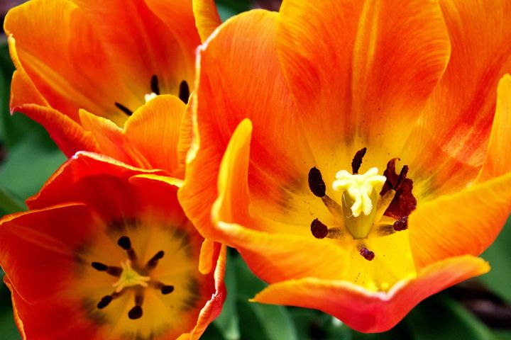Orange Tulips - Your Photos by Tracy