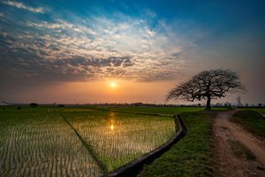 Lonely tree in rice field
