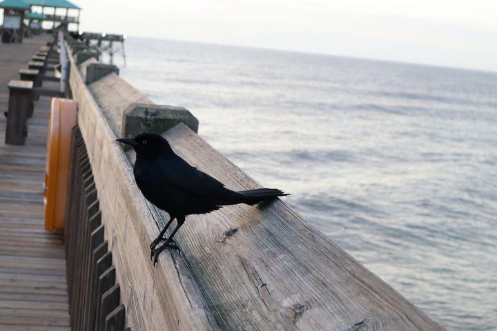 Grackle on Folly Beach Pier - Environmental Manipulations