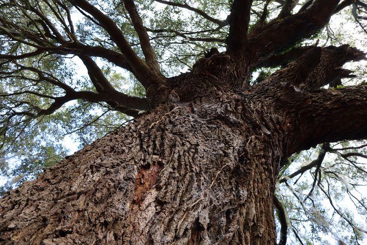 Large oak webs on bark - Environmental Manipulations