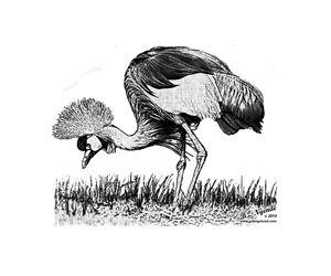 Crested Crane feeding - Art Engraved