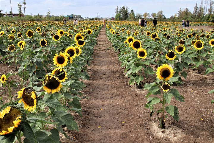 Rows of Sunflowers - Sally Mesarosh Photography