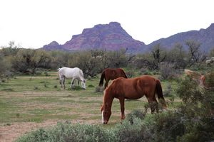 Salt River Wild Horses, Red Mtn.