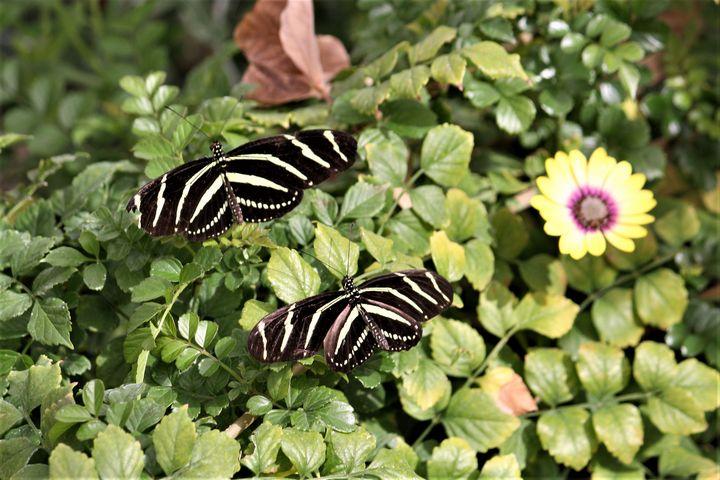 Zebra Butterfly - Sally Mesarosh Photography