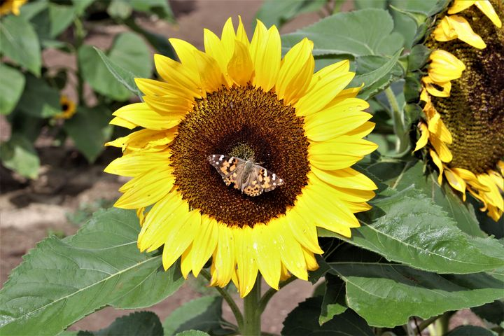 Butterfly Resting on Sunflower - Sally Mesarosh Photography