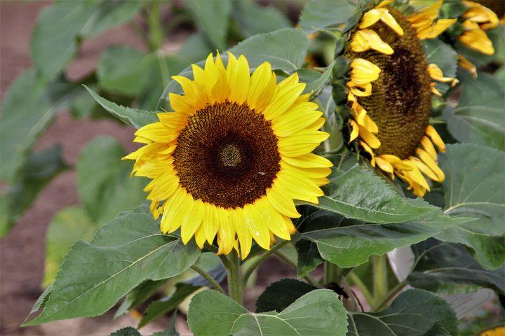 Sunflower Joy - Sally Mesarosh Photography