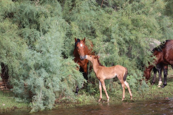 Salt River Wild Horse Family - Sally Mesarosh Photography