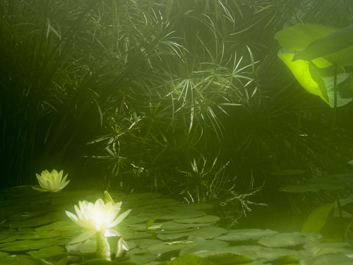 Lotus Flowers in Green - Mark Hill