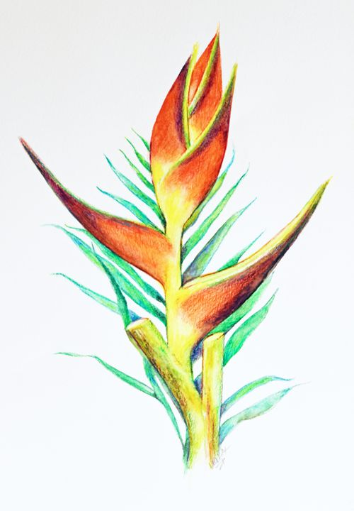 Parrot's Bill Heliconia - Sara
