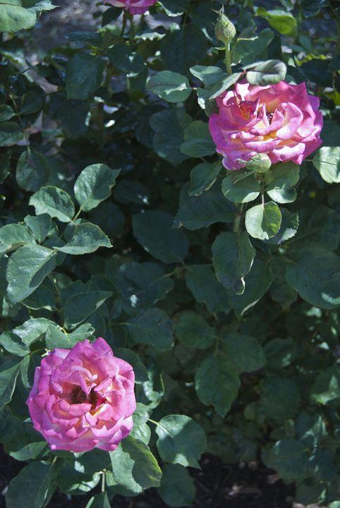 Two Pink Roses - Perpetiel Art