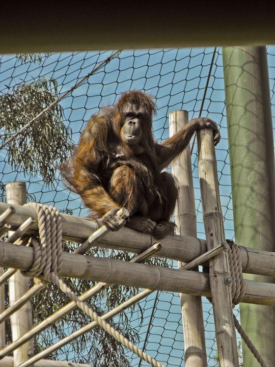 Orangutan at the Zoo - Perpetiel Art