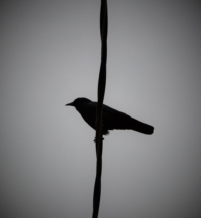 Crow on a Wire - jammer66