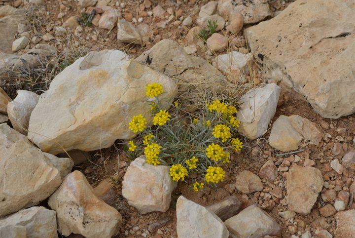 Desert Flower - jammer66