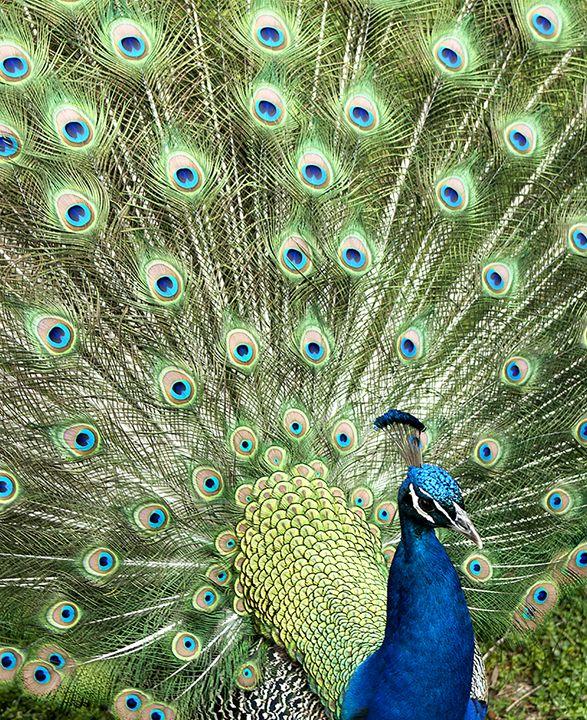 Peacock - Sara Katy
