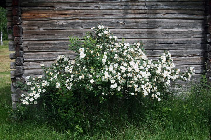 Midsummer Rose - Art KalleCat