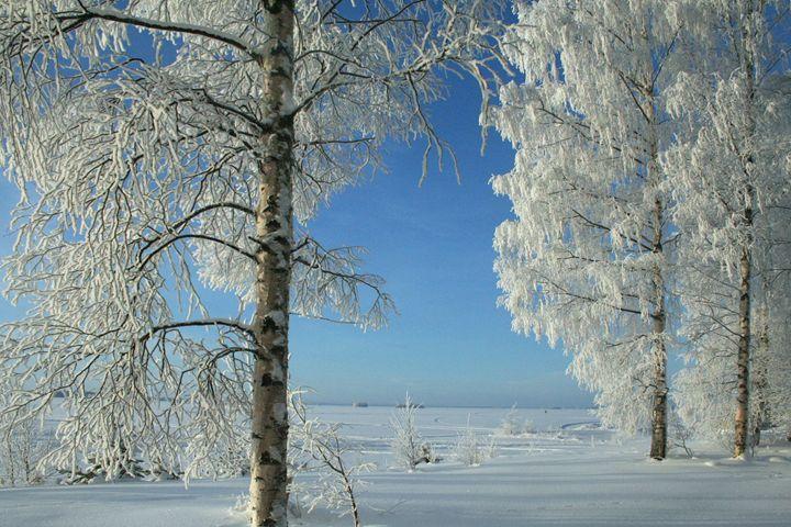 Snow Birches - Art KalleCat