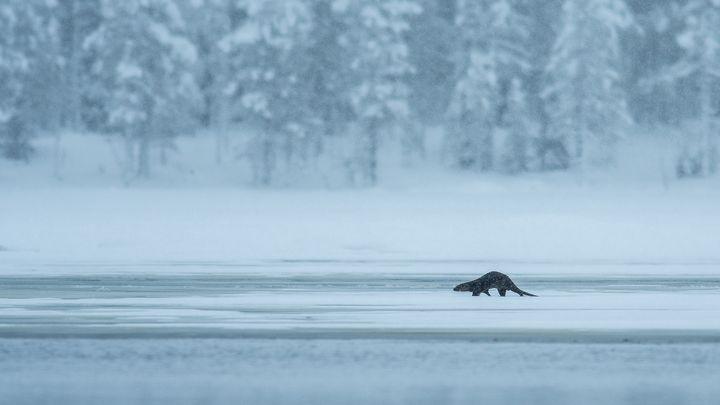 Fish Otter - Rob Honing nature photography