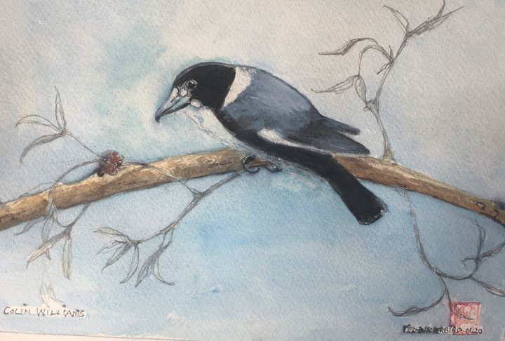 Pied Butcherbird - Colin L. Williams