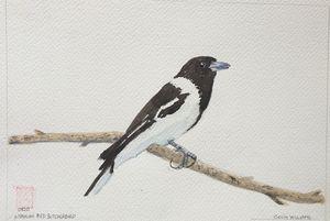 Australian Pied Butcherbird