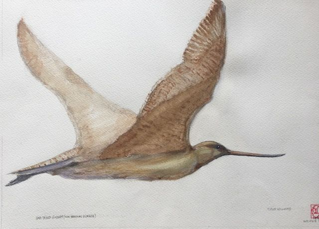 Bar-tailed Godwit - Colin L. Williams