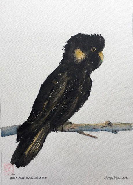 Yellow-tailed Black Cockatoo - Colin L. Williams