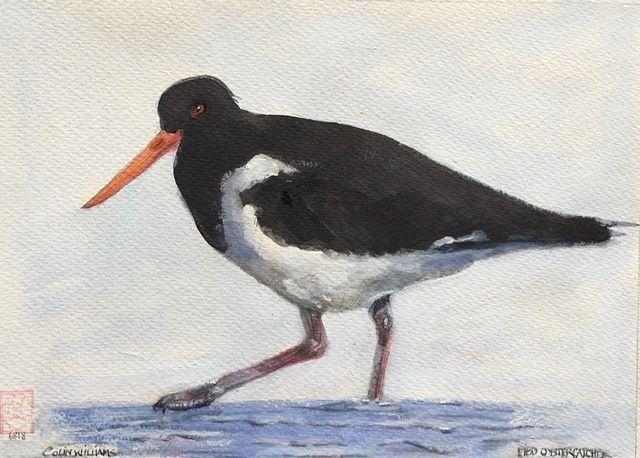 Australian Pied Oystercatcher - Colin L. Williams