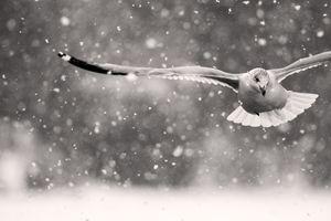 Snowgull