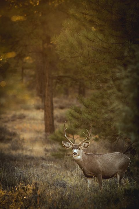 Mule Deer at Sunset - Jeb McConnell