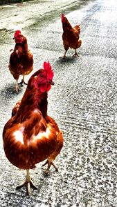 Three Wise Hens