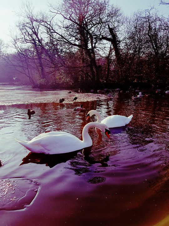 Two Swans - Melissa's Photography