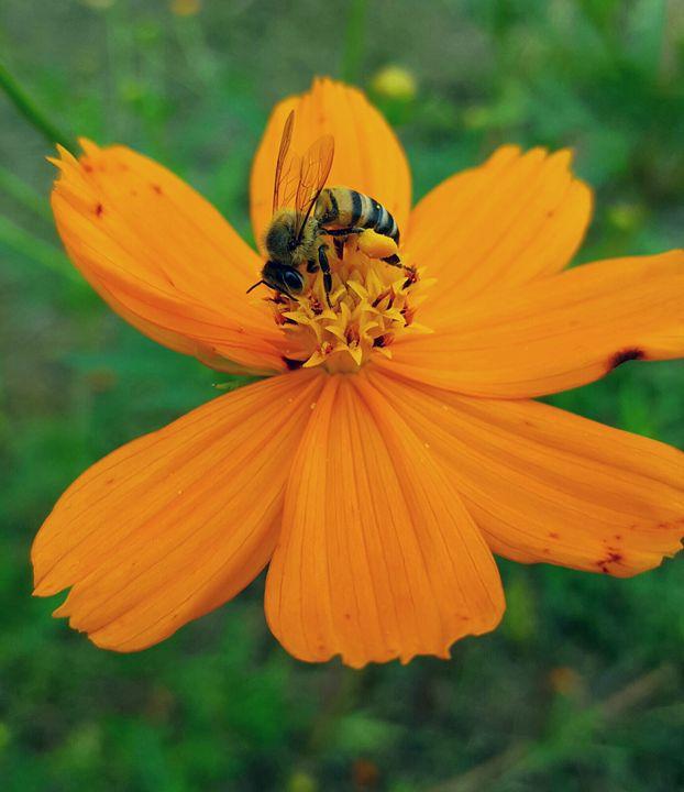 Bee - Amature photographer