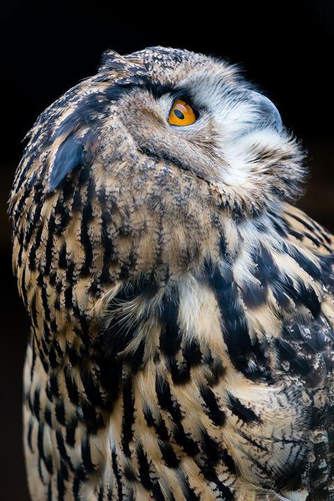 European Eagle Owl Portrait - Andy McGarry Photo