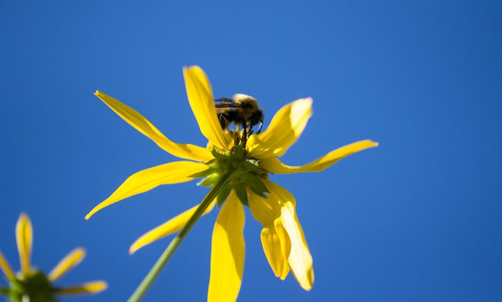 Bee on a Yellow Flower - Bryan's Art