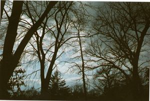 Tree Tops- 35mm