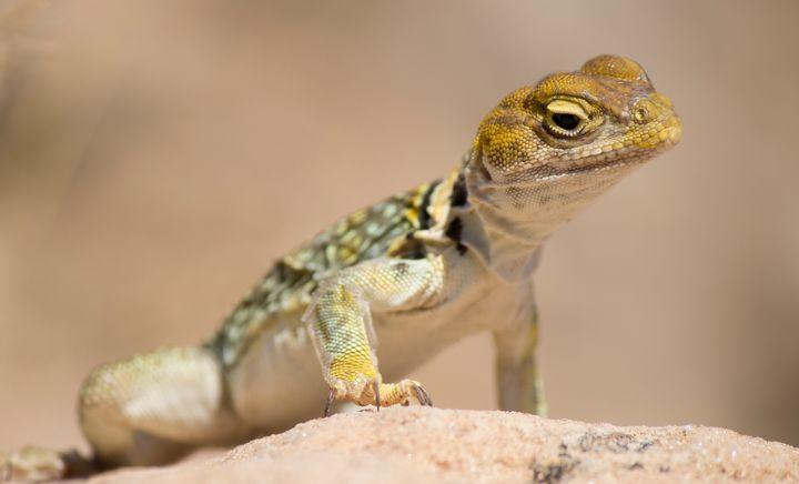 Collared Lizard, Utah - Jonathan P. Thompson