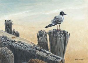 DISTANT SHORES (Bonaparte's Gull)