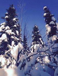Snow Topped Trees
