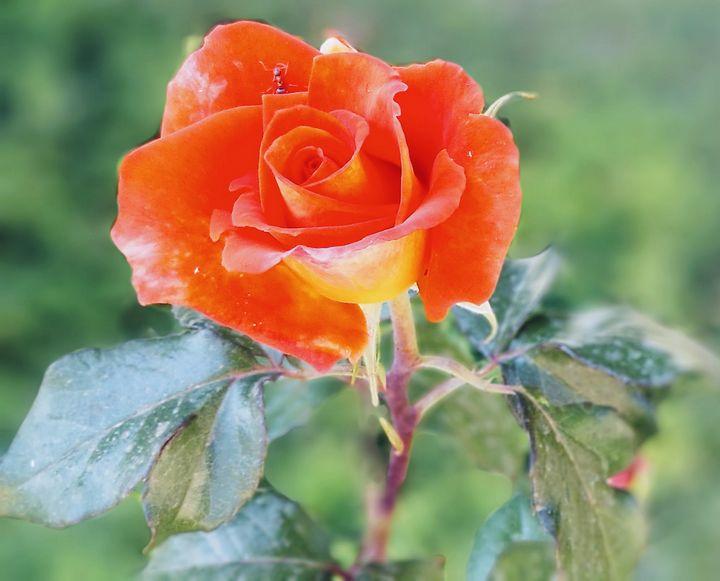 Vibrant Rose - John Dixon