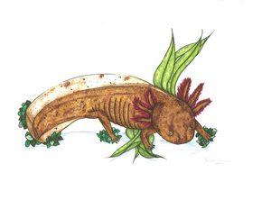 Copper Axolotl