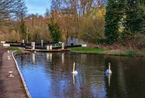 Swans At Greenham Lock