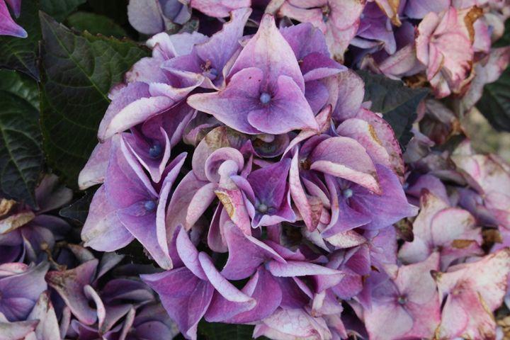 Purple Mixed - Mixed Photography