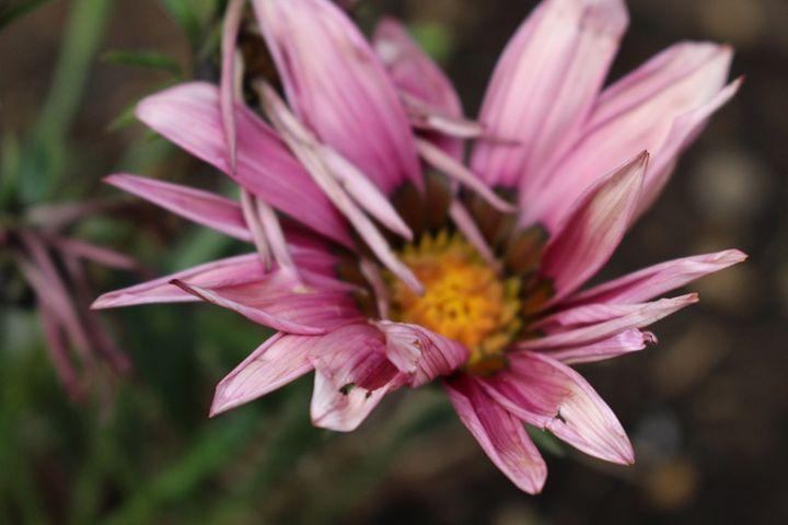 Pink Focus - Mixed Photography